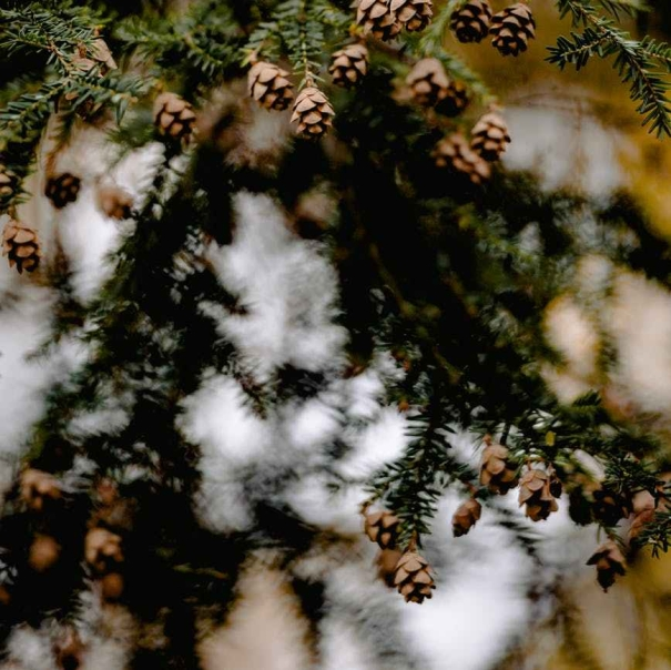 acorns hanging in a tree